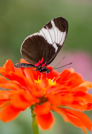 Sapho Longwing butterfly Heliconius sapho feeding on a red flower
