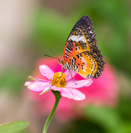 biblis: Red Lacewing butterfly Cethosia biblis feeding on a pink flower