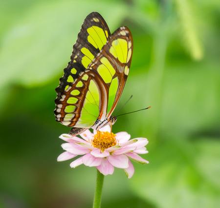 dido: Dido Longwing butterfly Philaethria dido feeding on a pink flower Stock Photo