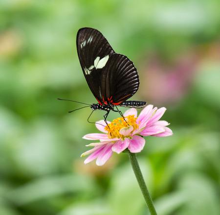 entomological: Doris Longwing butterfly Heliconius doris feeding on a pink flower Stock Photo