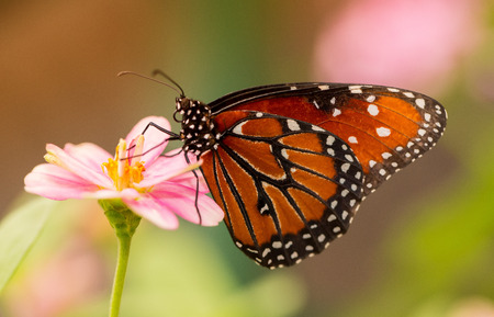 Queen butterfly Danaus gilippus feeding on a pink flower