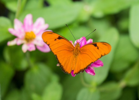 Julia Heliconian butterfly Dryas iulia feeding on a pink flower photo