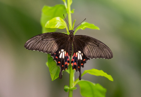 Common Mormon butterfly Papilio polytes perching on a green stem photo