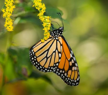 plexippus: Monarch butterfly Danaus plexippus feeding on wildflowers in Maryland during the Summer