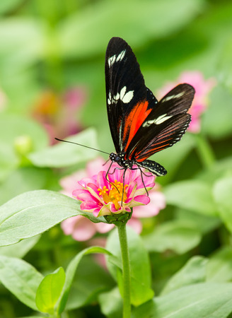 Doris Longwing butterfly Heliconius doris feeding on a pink flower Reklamní fotografie