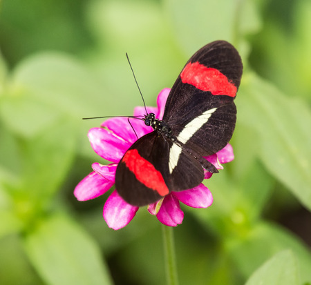 crimson: Red Postman butterfly Heliconius erato feeding on a pink flower
