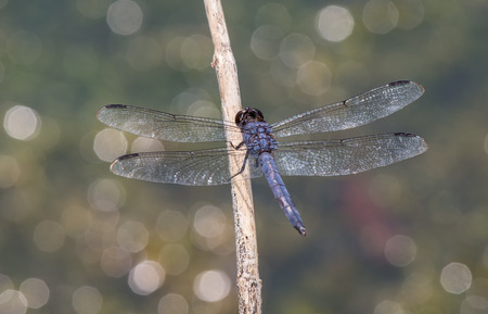 pruinescence: Slaty Skimmer dragonfly Libellula incesta perching on a twig in Maryland during the Summer