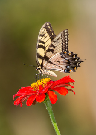 Eastern Tiger Swallowtail butterfly Papilio glaucus feeding on a red flower in Maryland during the Summer photo