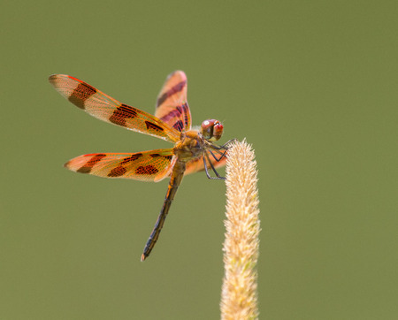 Halloween Pennant dragonfly Celithemis eponina perching on a wild grass stem in Maryland during the Summer Stock Photo