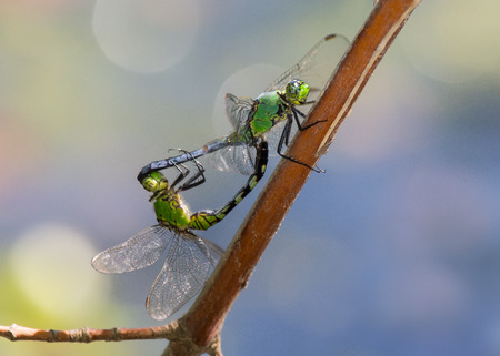 Eastern Pondhawk dragonflies Erythemis simplicicollis in wheel formation during copulation Stock Photo