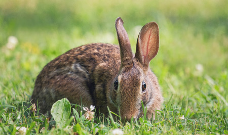 urban wildlife: Eastern Cottontail rabbit Sylvilagus floridanus sitting in vegetation in Maryland during the Summer Stock Photo