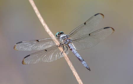 pruinescence: Great Blue Skimmer dragonfly Libellula vibrans perching on a twig during the Summer