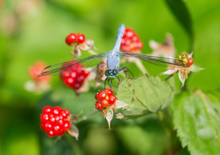 Eastern Pondhawk dragonfly Erythemis simplicicollis resting on a blackberry bush during the Summer Stock Photo