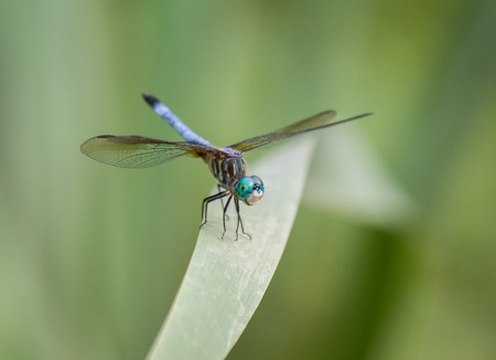 Blue Dasher dragonfly Pachydiplax longipennis resting on a reed during the Summer photo