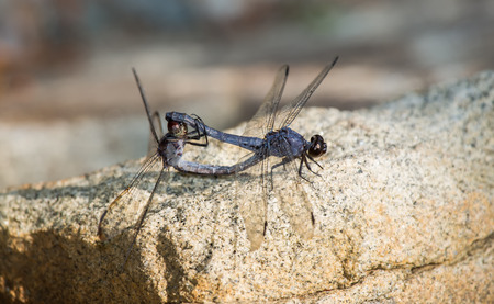 Slaty Skimmer dragonflies Libellula incesta in wheel formation during copulation during the Summer