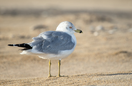 winter urban wildlife: Ring-billed Gull Larus delawarensis standing on a beach on Assateague Island during the Winter