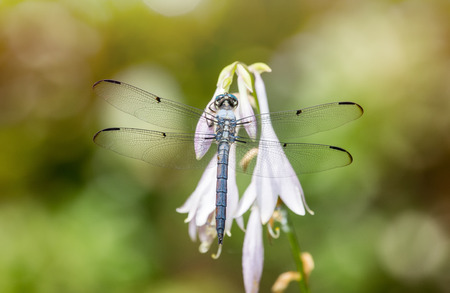 Great Blue Skimmer dragonfly Libellula vibrans perching on a Hosta flower during the Summer