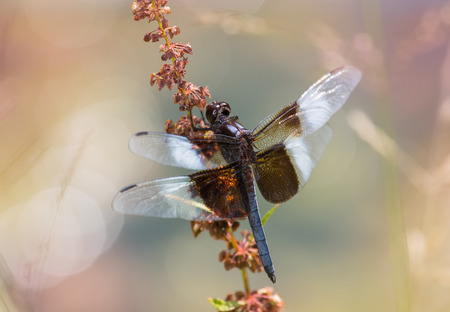 pruinose: Widow Skimmer dragonfly Libellula luctuosa resting on a wildflower stem in Maryland during the Summer Stock Photo