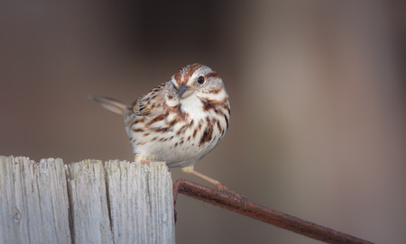winter urban wildlife: Song Sparrow Melospiza melodia perching on a fence in Maryland with Autumn color theme Stock Photo