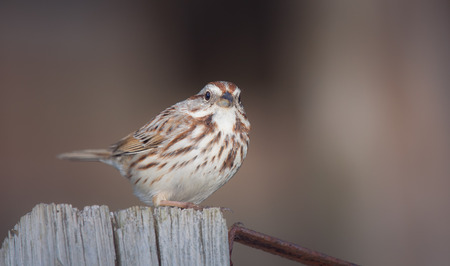 Song Sparrow Melospiza melodia perching on a fence in Maryland with Autumn color theme Banco de Imagens