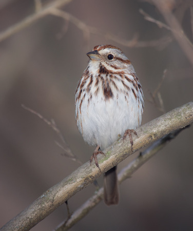winter urban wildlife: Song Sparrow Melospiza melodia perching in a tree in Maryland with Autumn color theme Stock Photo