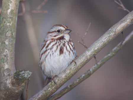 Song Sparrow Melospiza melodia perching in a tree in Maryland with Autumn color theme Banco de Imagens