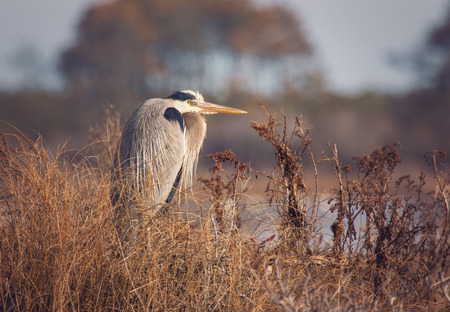 great blue heron: Great Blue Heron Ardea herodias perching in a tree on Assateague Island during the Winter