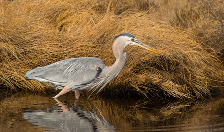 great blue heron: Great Blue Heron Ardea herodias hunting in a stream on Assateague Island during the Winter Stock Photo