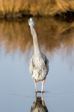 blue heron: Great Blue Heron Ardea herodias hunting in a stream on Assateague Island during the Winter Stock Photo