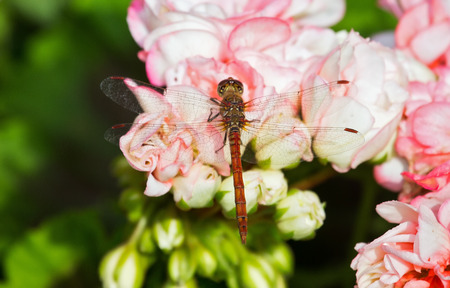 Common Darter dragonfly Sympetrum striolatum perching on pink Begonia flowers in England