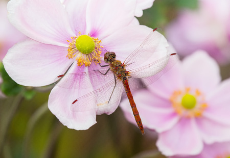 Common Darter dragonfly Sympetrum striolatum perching on a pink flower in England