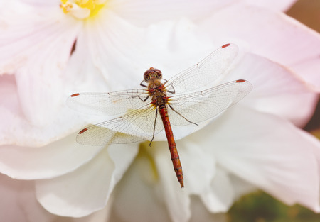 sympetrum: Common Darter dragonfly Sympetrum striolatum perching on a white flower in England
