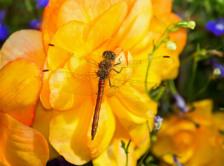 odonatology: Common Darter dragonfly Sympetrum striolatum perching on a yellow flower in England