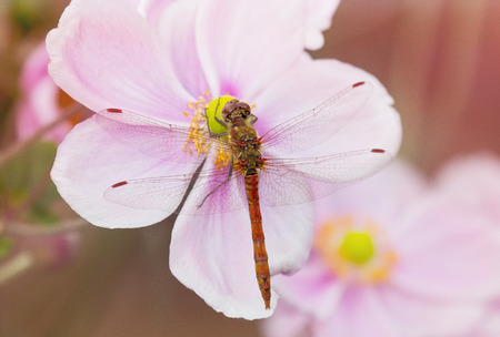 pruinescence: Common Darter dragonfly Sympetrum striolatum perching on a pink flower in England