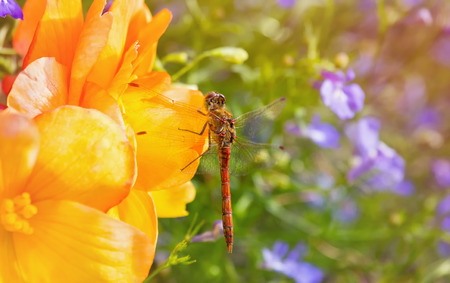 Common Darter dragonfly Sympetrum striolatum perching on yellow Begonia flowers with summer haze and sun flare Stock Photo