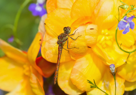 pruinose: Common Darter dragonfly Sympetrum striolatum perching on yellow Begonia flowers in England
