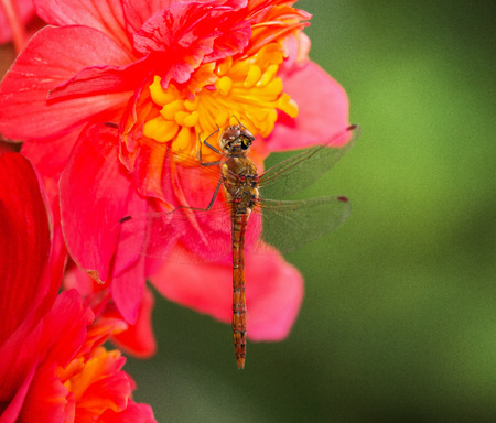 pruinose: Common Darter dragonfly Sympetrum striolatum perching on dark pink flowers in England Stock Photo