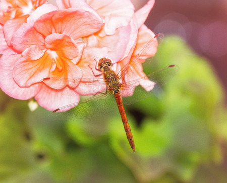 pruinose: Common Darter dragonfly Sympetrum striolatum perching on pink Begonia flowers with summer haze and bokeh