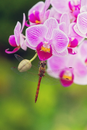 pruinose: Common Darter dragonfly Sympetrum striolatum perching on a pink orchid in England