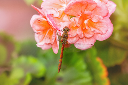 pruinose: Common Darter dragonfly Sympetrum striolatum perching on pink Begonia flowers with summer haze Stock Photo