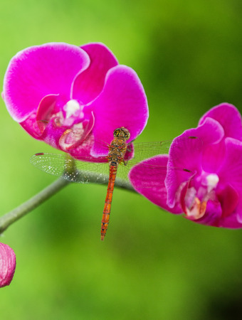 Common Darter dragonfly Sympetrum striolatum perching on a pink orchid in England