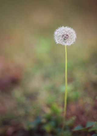 Dandelion Taraxacum seed head with Fall and Autumn background colors photo
