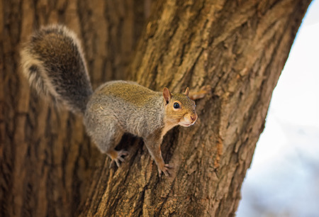 Eastern Gray Squirrel Sciurus carolinensis climbing on a tree trunk in woodland with an Autumn color theme