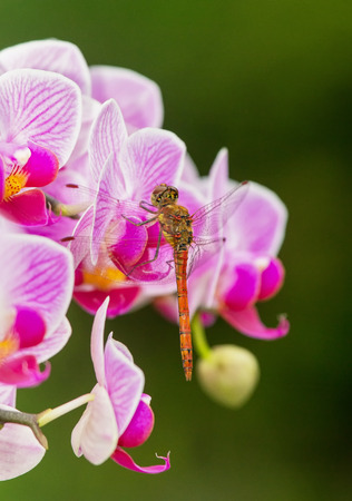 Common Darter dragonfly Sympetrum striolatum perching on pink orchids in England Stock Photo