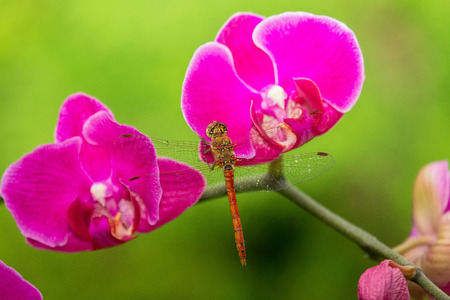 Common Darter dragonfly Sympetrum striolatum perching on a purple orchid in England