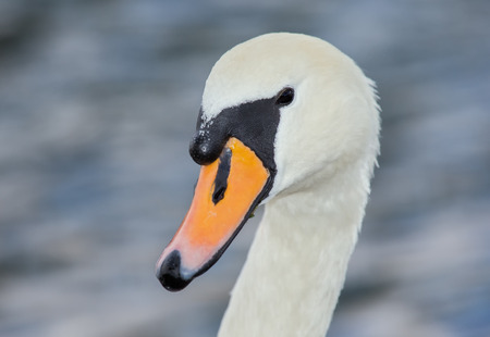 Mute Swan Cygnus olor portrait taken by a lake in England during the Summer photo
