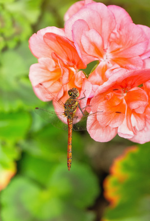 pruinescence: Common Darter dragonfly Sympetrum striolatum perching on pink Geranium flowers in England