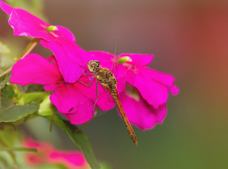 pruinose: Common Darter dragonfly Sympetrum striolatum perching on dark pink flowers in England Stock Photo