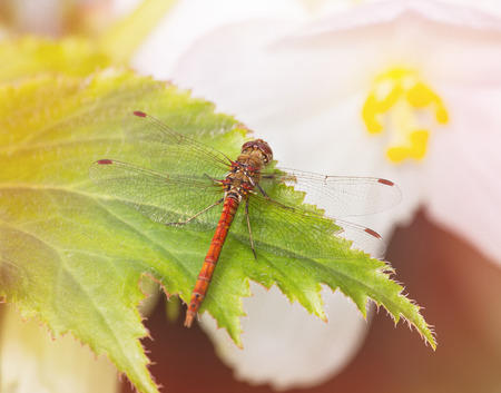 sympetrum: Common Darter dragonfly Sympetrum striolatum perching on a leaf in England