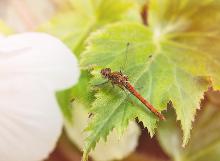 Common Darter dragonfly Sympetrum striolatum perching on a leaf in England